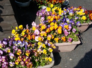 flower pots full of multi colored pansies