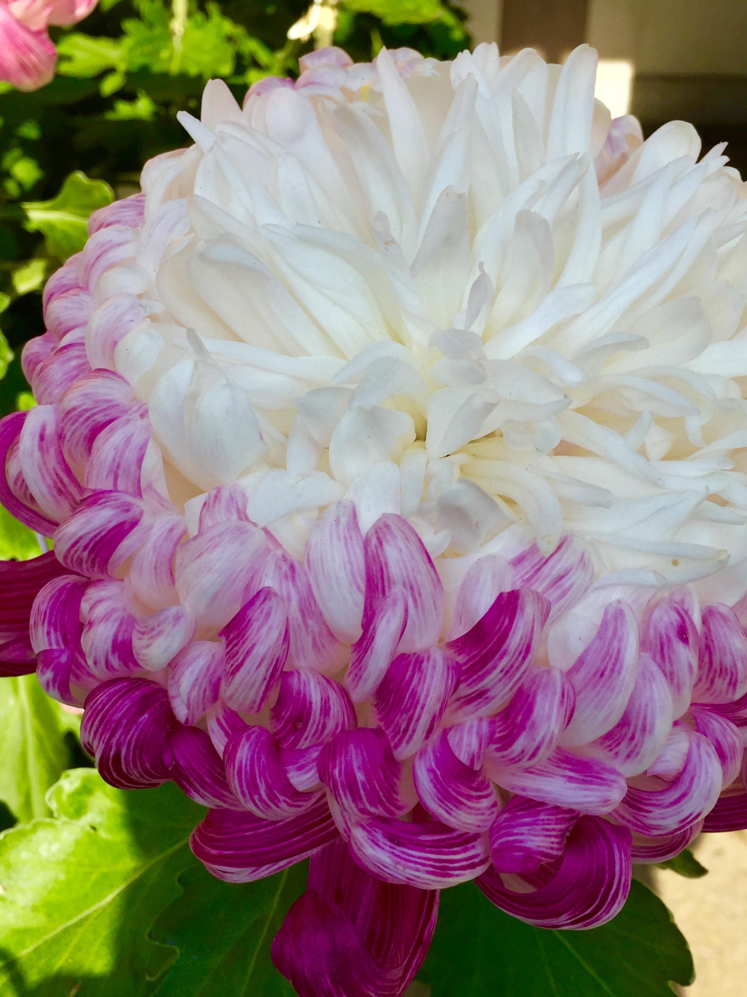 Kiku Understanding The Significance Of The Chrysanthemum