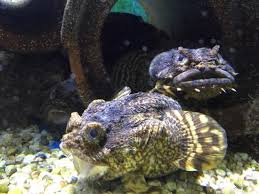 grouch fish